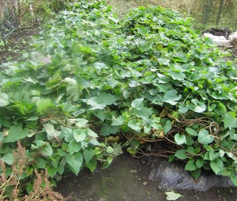 WEB_さつま芋収穫1