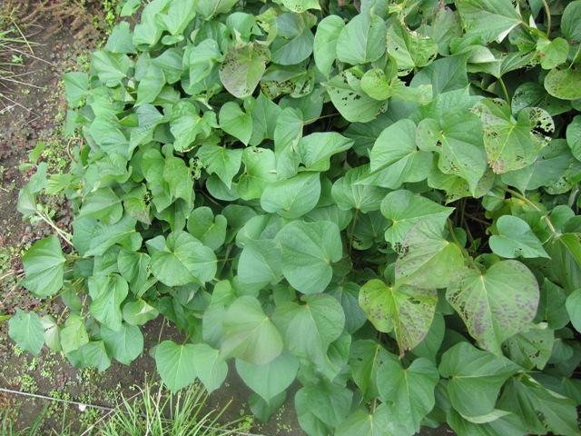 WEB_さつま芋収穫2
