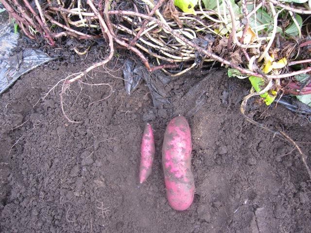 WEB_さつま芋収穫3