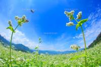 そばミツバチ