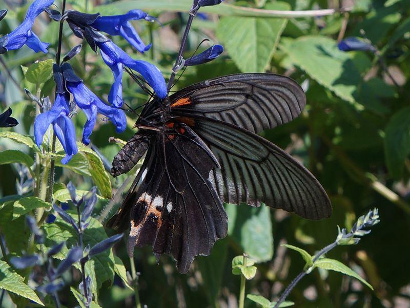 サルビア・ガラニチカと蝶