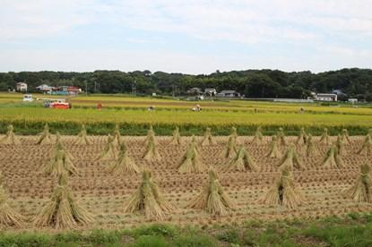 9/20 稲刈り風景  小出川