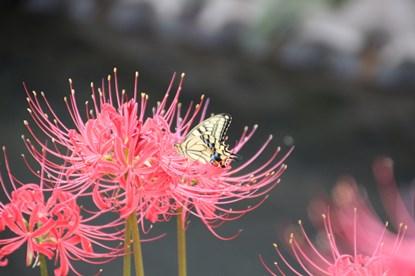 9/20 彼岸花にアゲハ蝶  小出川