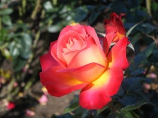 秋の薔薇0001