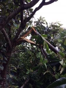 風で折れた枇杷の木