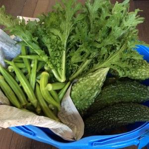 昨日採れた野菜