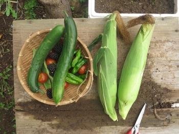 とうきび収穫2
