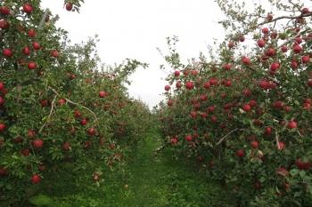 余市、りんご狩り