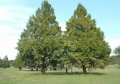 大きな木々も