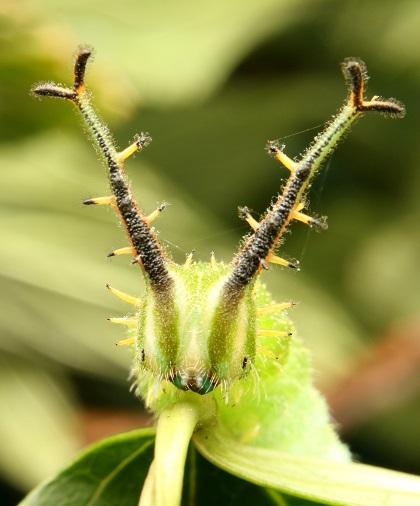 アカボシゴマダラ幼虫 (1)bv