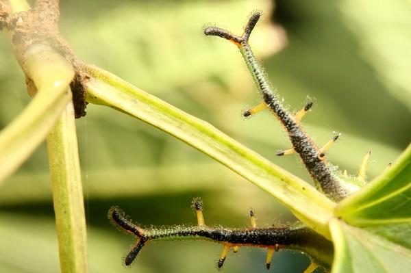 アカボシゴマダラ幼虫 (2)bv