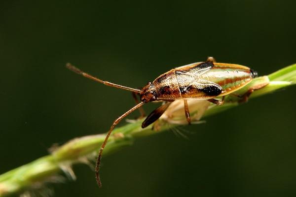 ヒゲナガカメムシ幼虫bv