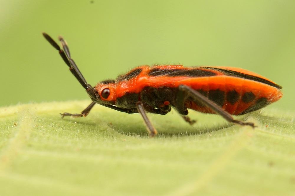 セスジナガカメムシ (1)bv