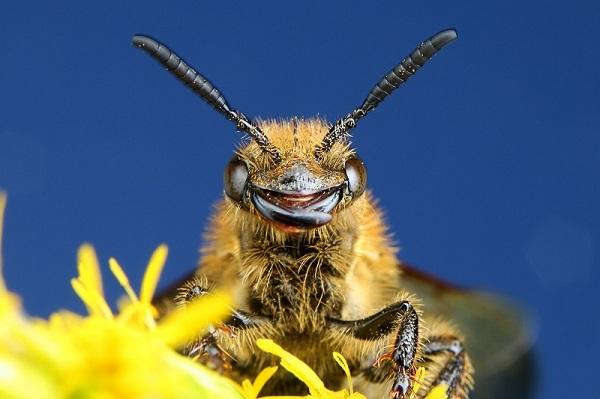 キンケハラナガツチバチ (2)bv