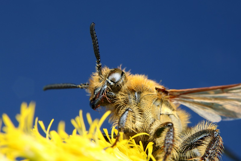 キンケハラナガツチバチ (1)bv