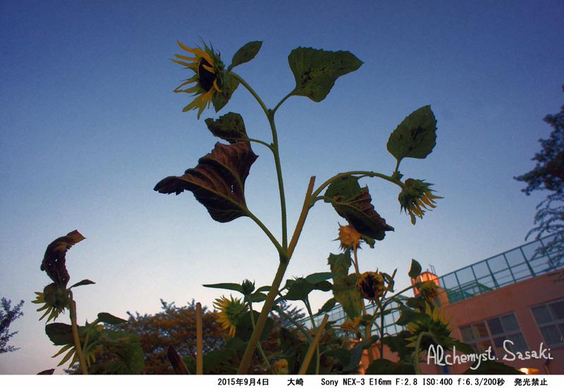 夕方の向日葵DSC03654