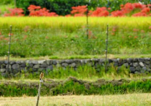 ノビタキ2015-09-26 115 (640x449)