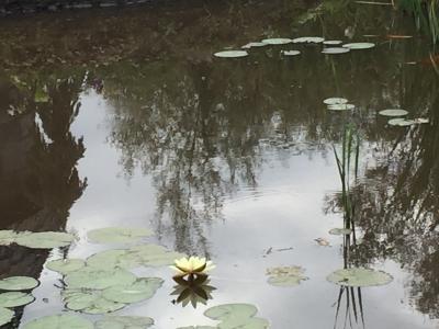 睡蓮(黄色)~上野ファームにて