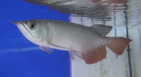 紅尾0926