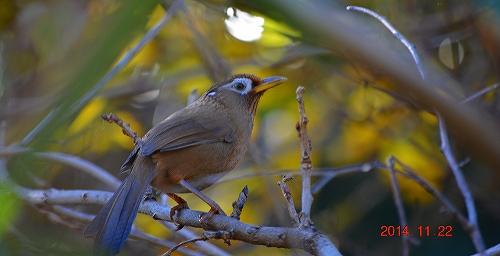 s-画眉鳥20141122