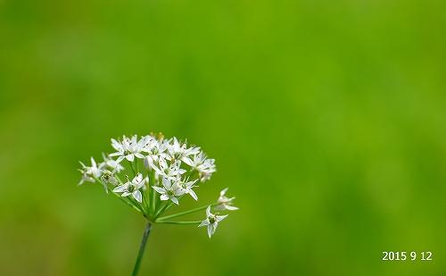 s-白い花20150912