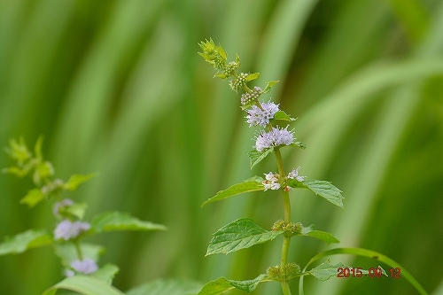 s-薄紫の花20150912