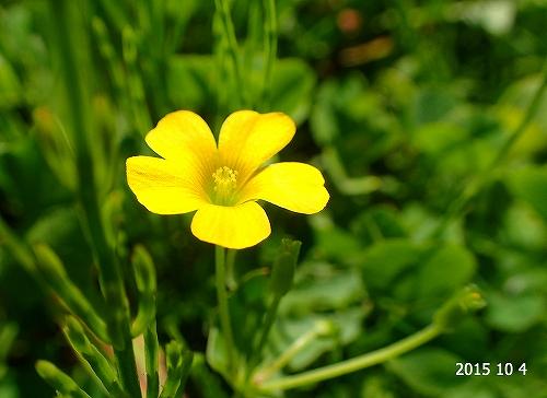 s-黄色の花②20151004