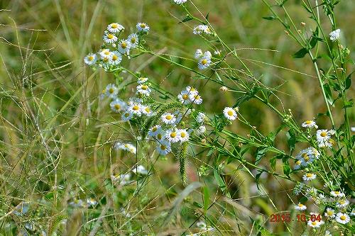 s-白い花②20151004