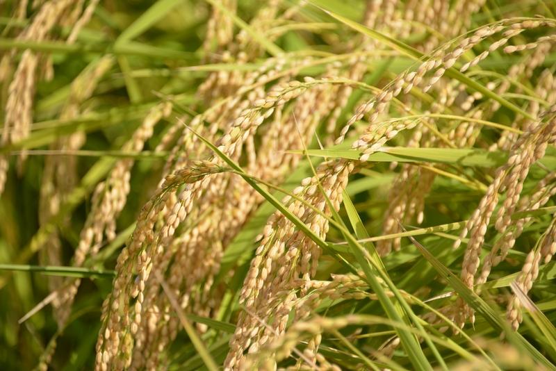 収穫前-5