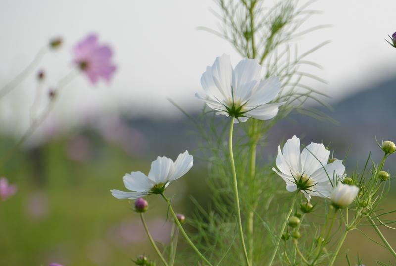 白いコスモス-5