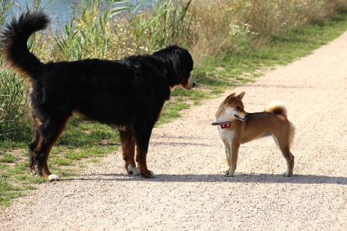セナとオランダ犬