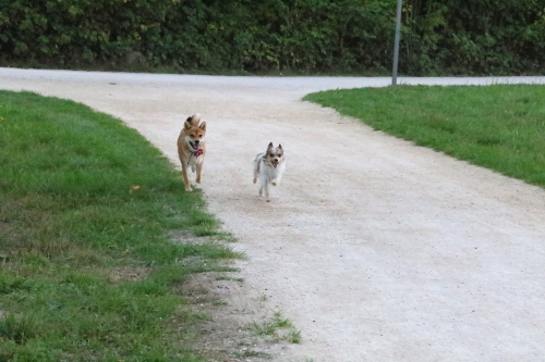 セナとフミが2匹で走ってる