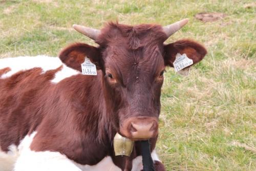 おとなしそうな牛