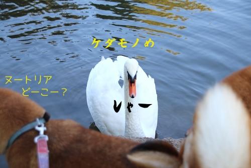 白鳥の威嚇