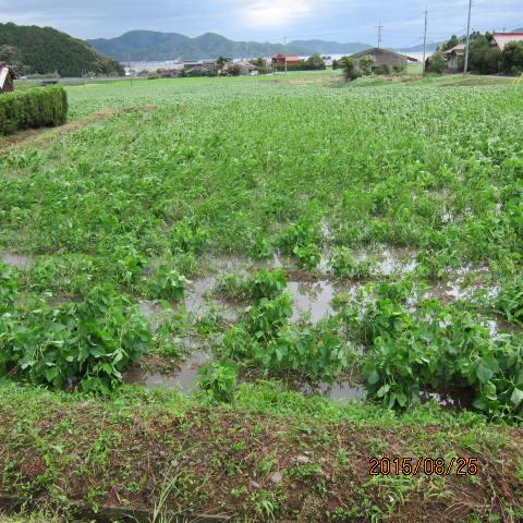 水浸しの大豆畑1