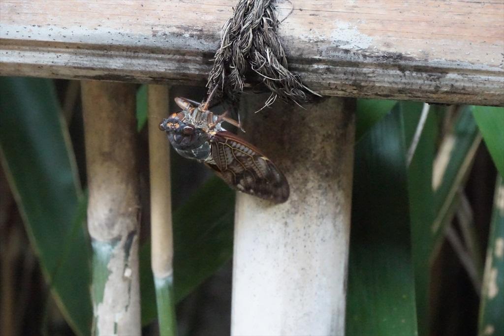 飛んできた蝉が目の前に