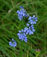 Allium_beesianum.jpg