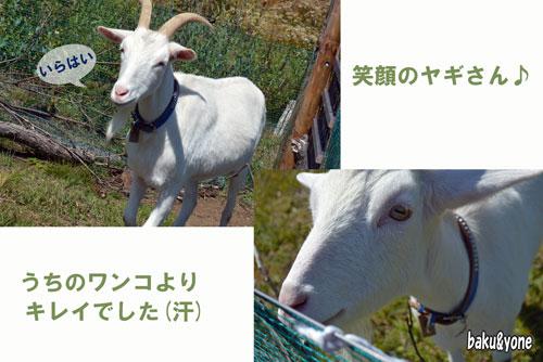 白山羊2枚
