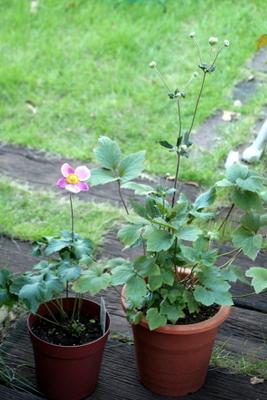 秋明菊2鉢