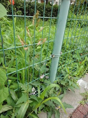 ワルナスビと雑草