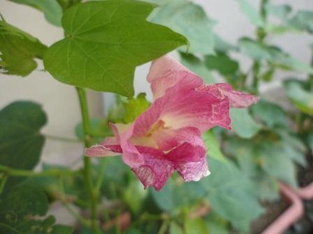 ピンクがかった花の終わり