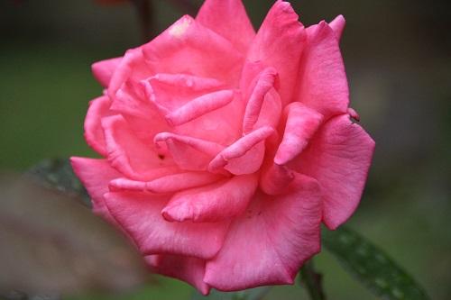 IMG_3861 bara pink
