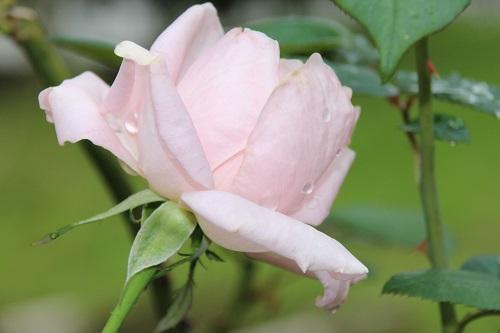 IMG_3865 rose pink