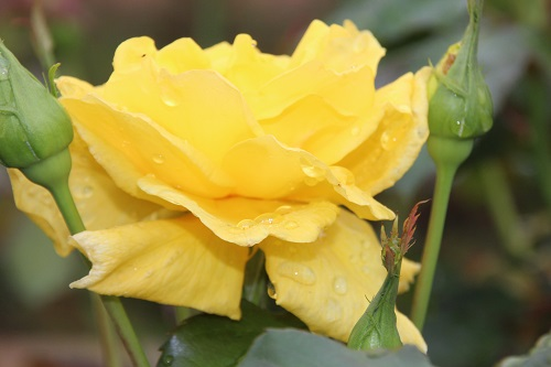 IMG_3867 rose yellow