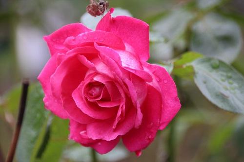 IMG_3870 rose red