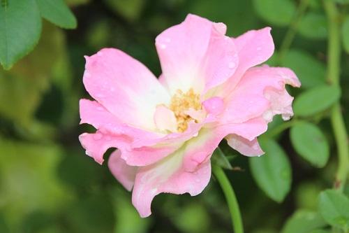 IMG_3875 rose pink