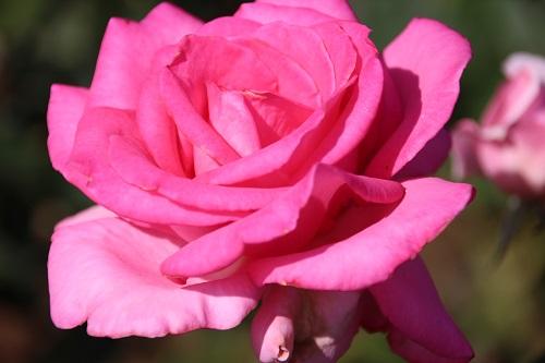IMG_5036 rose pink