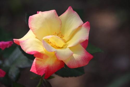 IMG_5042 rose