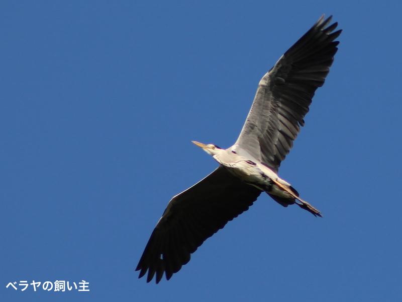 BNK_Heron_IMG_0107.jpg