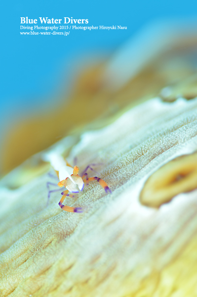 ウミウシカクレエビ